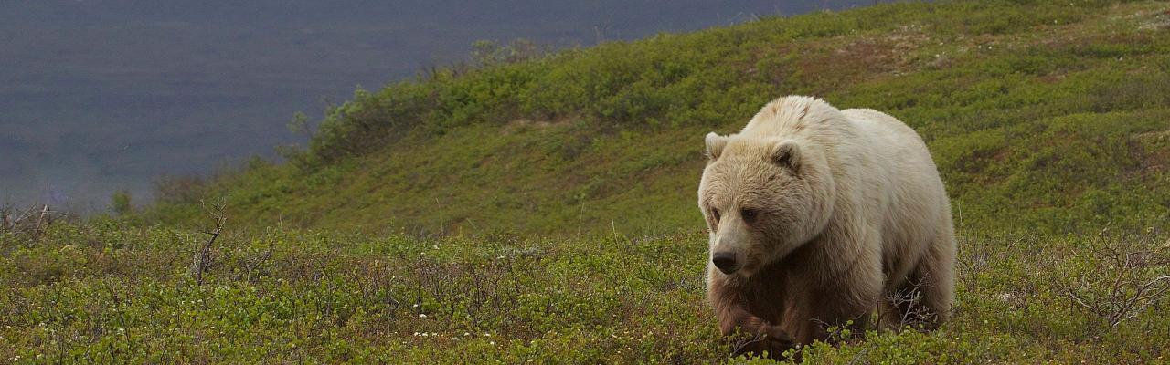 Alaska Archives - Bird Treks