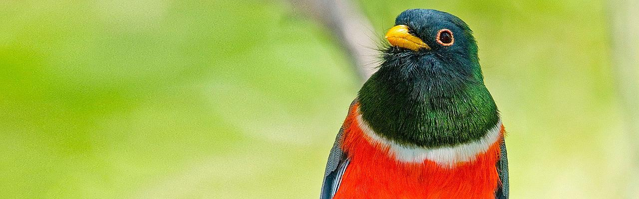 Elegant Trogon by Tom Dove