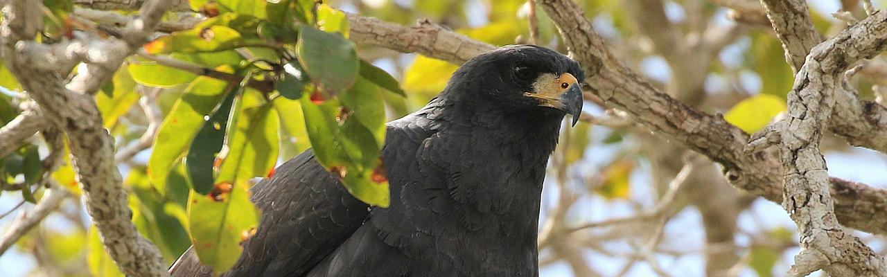 Great Black Hawk, Belize Birding Tour, Belize Nature Tour, Winter Belize Tour, Naturalist Journeys
