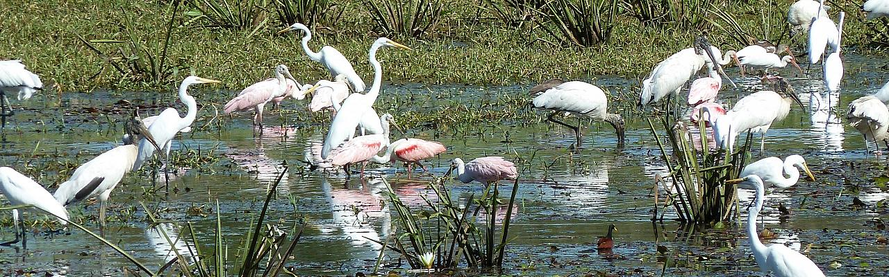 Great Egret, Roseate Spoonbill, Belize Birding Tour, Belize Nature Tour, Winter Belize Tour, Naturalist Journeys