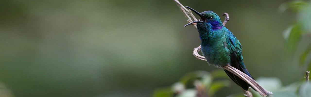 Green Violetear, Costa Rica, Naturalist Journeys