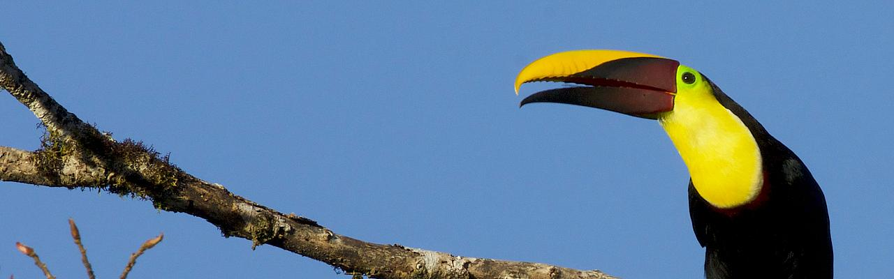 Yellow-throated Toucan, Panama, Panama Birding Tour, Panama Nature Tour, Winter Panama Tour, Naturalist Journeys