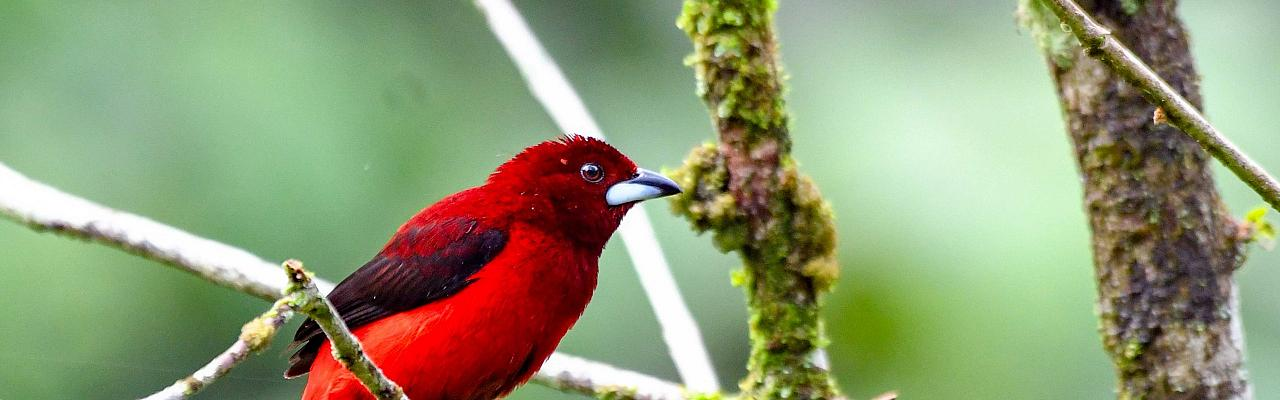 Crimson-backed Tanager, Panama, Panama Birding Tour, Panama Nature Tour, Winter Panama Tour, Naturalist Journeys