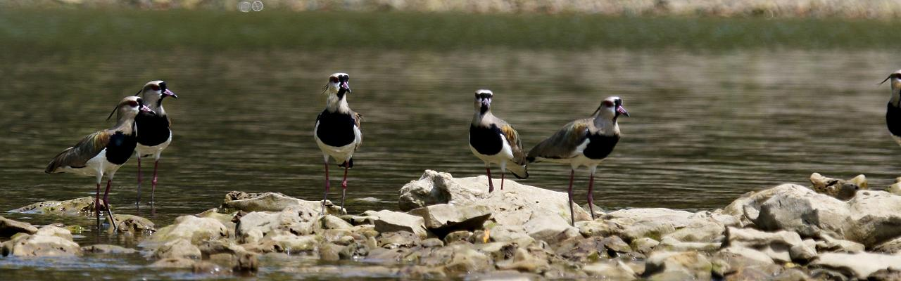 Southern Lapwing, Panama, Panama Birding Tour, Panama Nature Tour, Winter Panama Tour, Naturalist Journeys