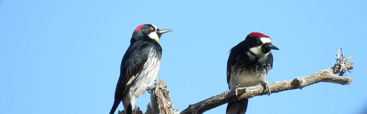 Acorn Woodpecker, Texas, Big Bend, Big Bend National Park, Texas Nature Tour, Texas Birding Tour, Big Bend Nature Tour, Big Bend Birding Tour, Naturalist Journeys