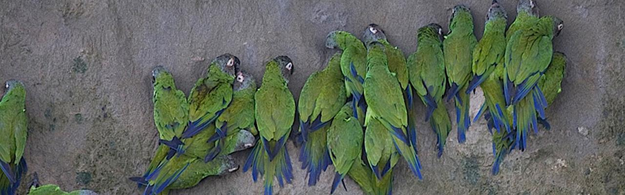 Dusky-headed Parakeets, Clay Lick, Ecuador, Ecuador Birding Tour, Ecuador Nature Tour, Cuenca, Quito, Naturalist Journeys