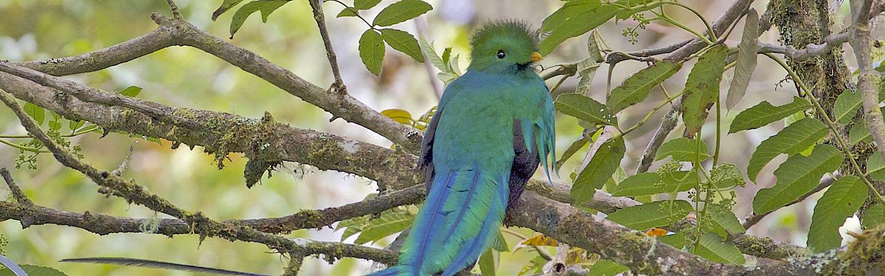 Resplendent Quetzal, Costa Rica, Costa Rica Birding Tour, Costa Rica Nature Tour, Winter Costa Rica Tour, Naturalist Journeys