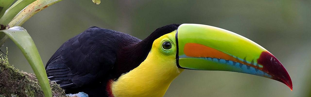 Keel-billed Toucan, Tikal, Guatemala, Guatemala Nature Tour, Guatemala Birding Tour, Birding Tikal, Naturalist Journeys