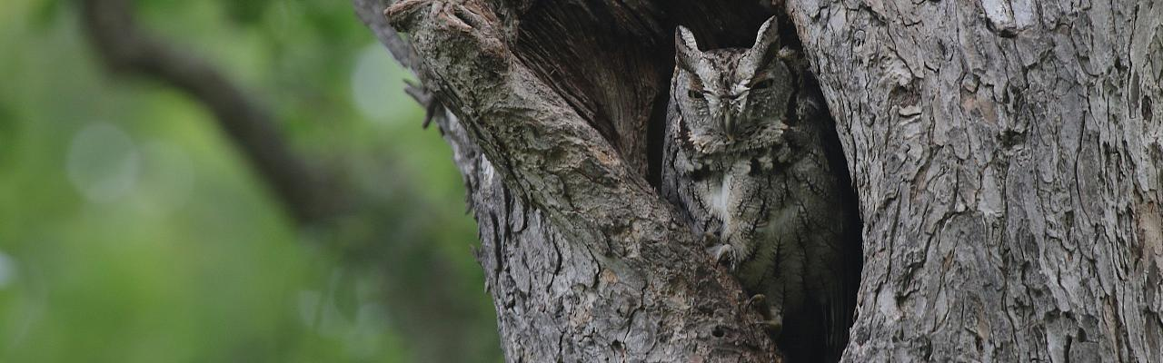 Eastern Screech Owl, Texas Hill Country, Naturalist Journeys