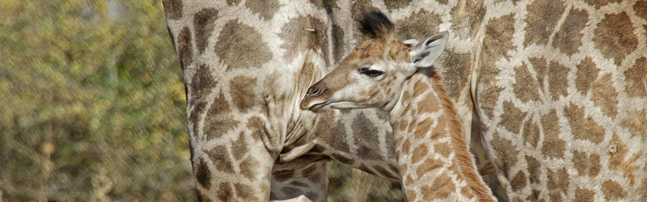 Baby Giraffe, Uganda, Uganda Safari, Uganda Wildlife Tour, Uganda Nature Tour, Naturalist Journeys