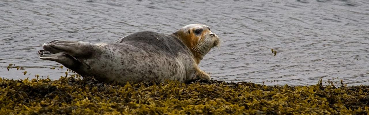 Gray Seal, Finland Birding Tour, Finland Nature Tours, Naturalist Journeys, Europe Birding, Norway, Norway Birding Tour