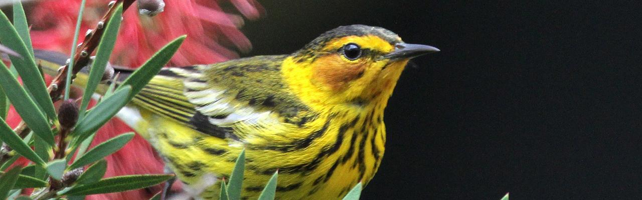 Cape May Warbler, Alabama, Dauphin Island, Naturalist Journeys