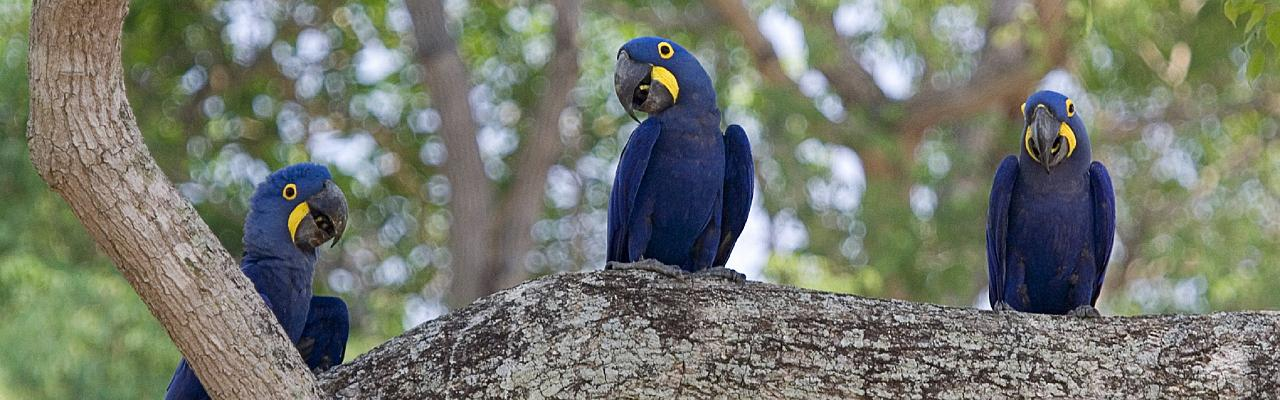 Hyacinth Macaws, Pantanal, Brazil, Naturalist Journeys