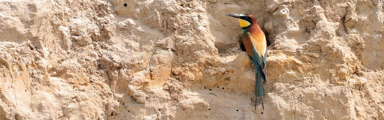 European Bee-eater, Bulgaria Birding Tour, Bulgaria Nature Tour, Romania Birding Tour, Romania Nature Tour, Bulgaria and Romania Birding Tour, Naturalist Journeys