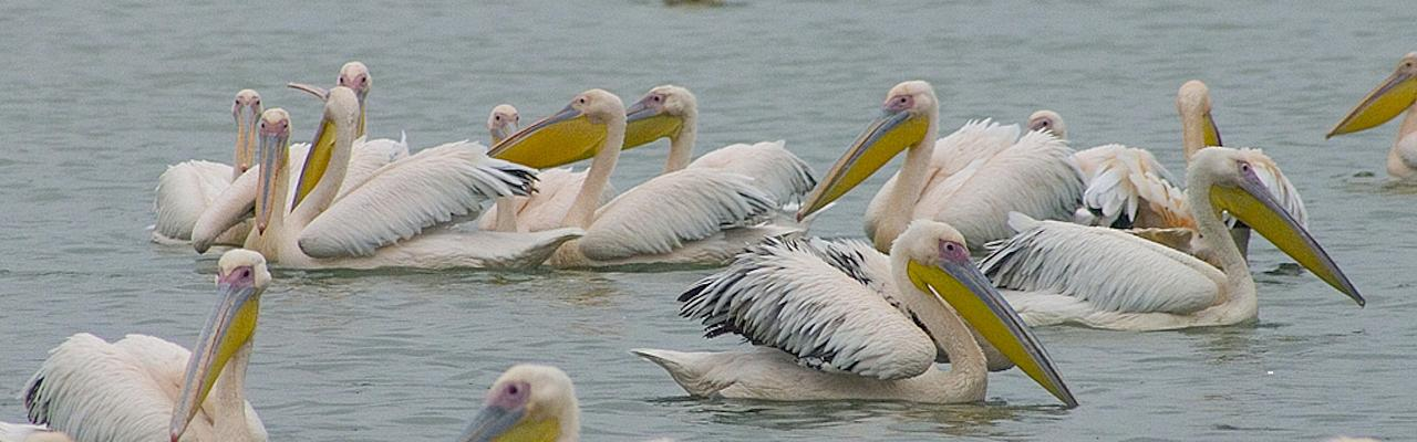 Great White Pelicans, Bulgaria Birding Tour, Bulgaria Nature Tour, Romania Birding Tour, Romania Nature Tour, Bulgaria and Romania Birding Tour, Naturalist Journeys