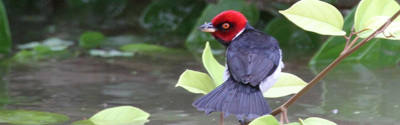 Red-capped Cardinal, Amazon River Cruise, Amazon Basin, Peru, Naturalist Journeys