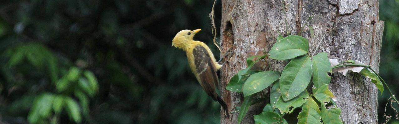Cream-colored Woodpecker, Amazon River Cruise, Amazon Basin, Peru, Naturalist Journeys