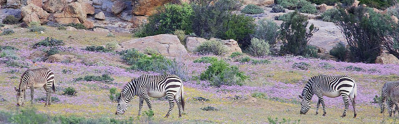 Zebras, South Africa, African Safari, South African Safari, South Africa Wildlife Safari, Naturalist Journeys