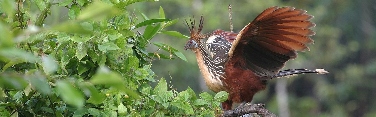 Hoatzin, Amazon River Cruise, Amazon Basin, Peru, Naturalist Journeys