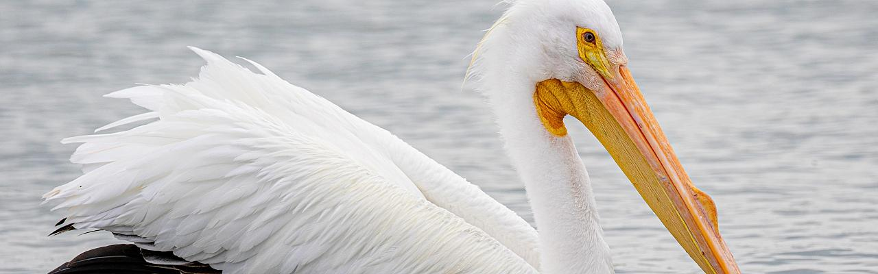 American White Pelican, South Texas, South Texas Nature Tour, South Texas Birding Tour, Naturalist Journeys