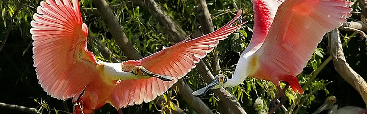 Roseate Spoonbill, Alamos, Mexico, Naturalist Journeys