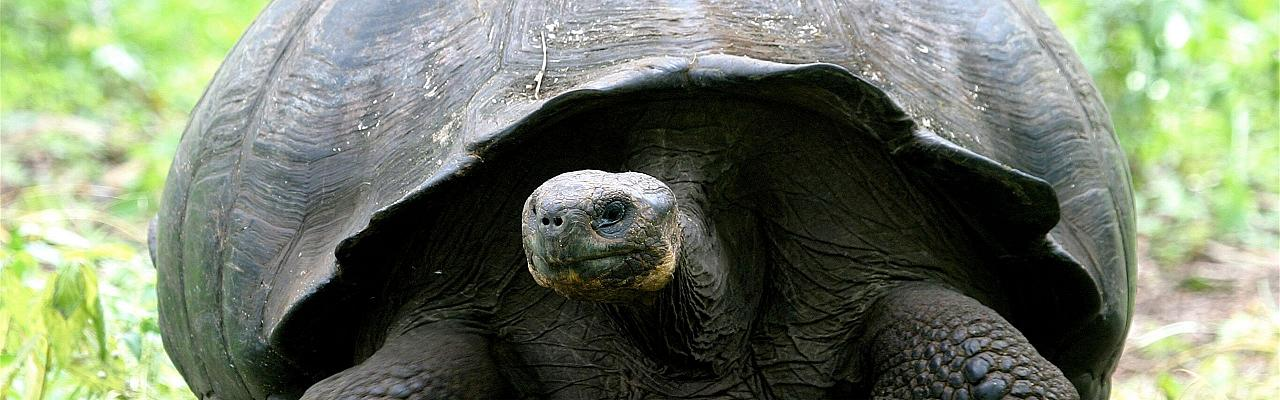 Galapagos Tortoise, Galapagos, Galapagos Islands, Galapagos Cruise, Naturalist Journeys