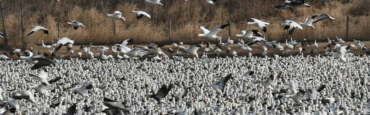 Snow Geese, Sandhill Crane Migration Tour, Platte River, Nebraska, Migration Tour, Naturalist Journeys