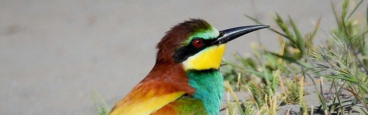European Bee-eater, Greece, Greece Birding Tour, Greece Nature Tour, Spring Migration Tour, Naturalist Journeys