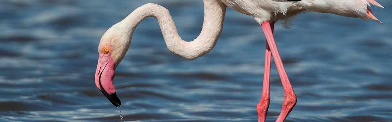 Greater Flamingo, Greece, Greece Birding Tour, Greece Nature Tour, Spring Migration Tour, Naturalist Journeys