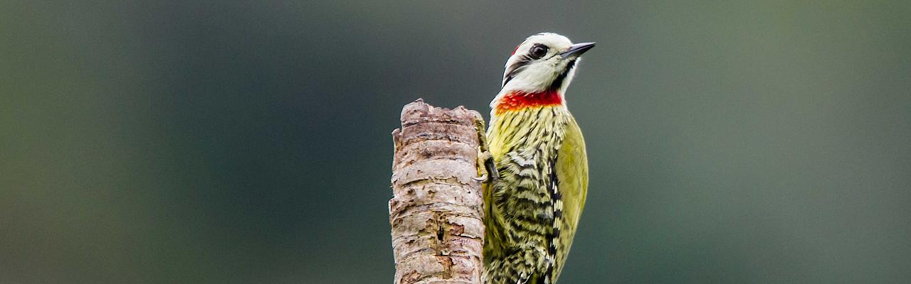 Cuban Green Woodpecker, Cuba, Cuba Birding Tour, Cuba Nature Tour, Naturalist Journeys