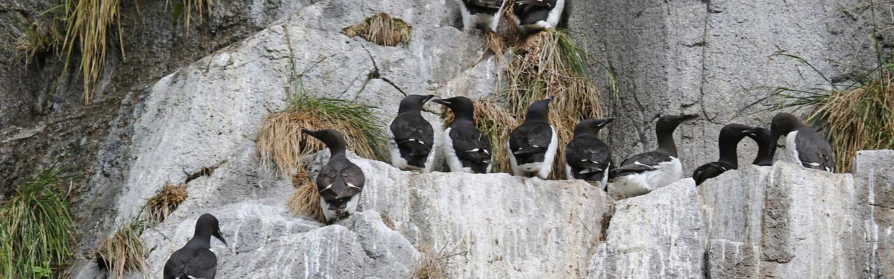 Common Murres, Alaska, Alaska Nature Tour, Alaska Birding Tour, Alaska Wildlife Tour, Naturalist Journeys