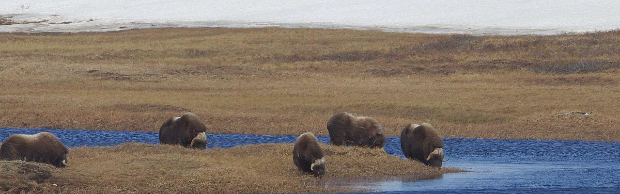 Muskox, Alaska, Alaska Nature Tour, Alaska Birding Tour, Alaska Wildlife Tour, Naturalist Journeys