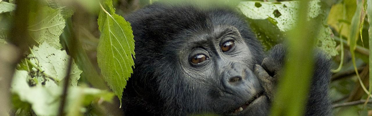 Mountain Gorilla, Uganda, Uganda Safari, Uganda Wildlife Tour, Uganda Nature Tour, Naturalist Journeys