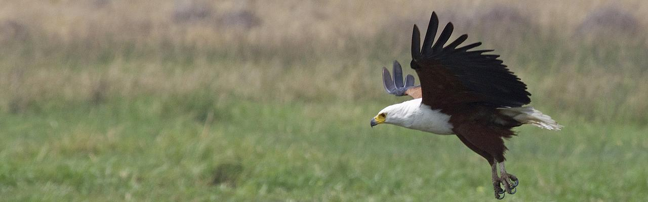African Fish Eagle, Uganda, Uganda Wildlife Safari, Uganda Safari, Uganda Nature Tour, Naturalist Journeys