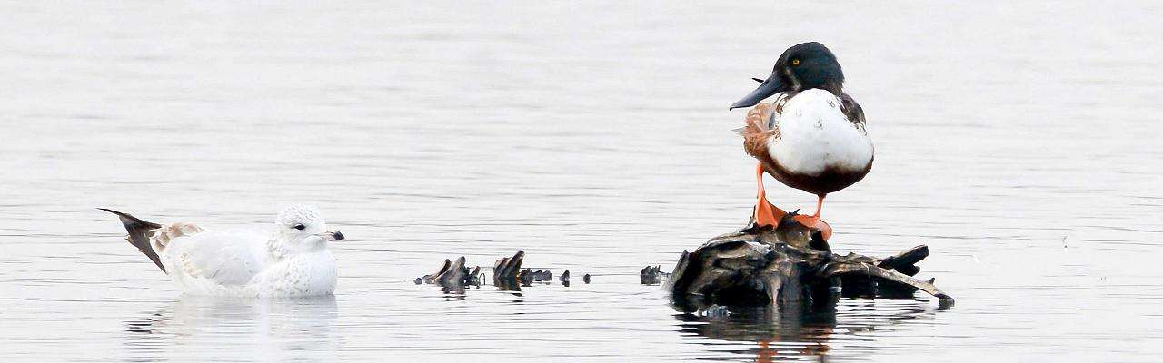 Northern Shoveler, Cape May, Fall Migration Tour, Birding Migration Tour, Naturalist Journeys