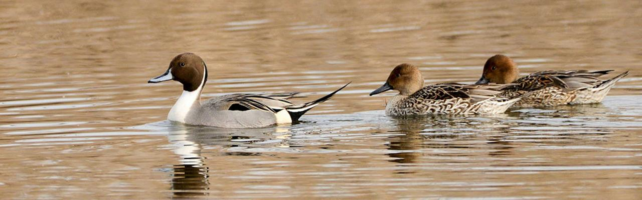 Northern Pintail, Cape May, Fall Migration Tour, Birding Migration Tour, Naturalist Journeys