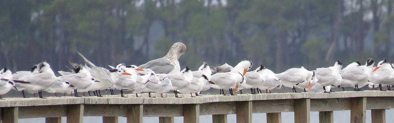 Terns, South Carolina, Folly Beach, South Caroline Birding Tour, South Carolina Nature Tour, Naturalist Journeys