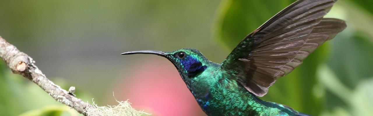 Green Violetear, Costa Rica, Costa Rica Nature Tour, Costa Rica Birding Tour, Fall Migration Tour, Naturalist Journeys, Costa Rica Birding Tour, Costa Rica Nature Tour