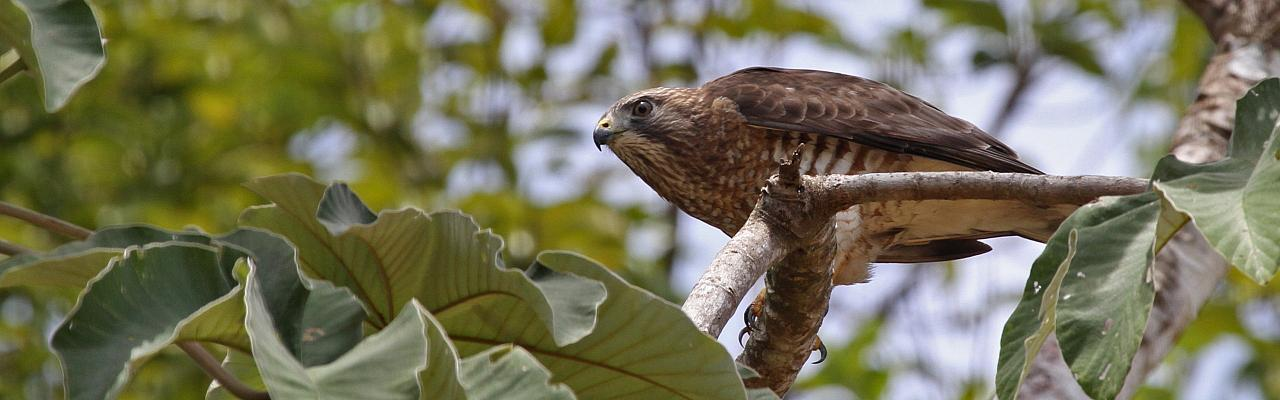 Broad-winged Hawk, Costa Rica, Costa Rica Nature Tour, Costa Rica Birding Tour, Fall Migration Tour, Naturalist Journeys, Costa Rica Birding Tour, Costa Rica Nature Tour