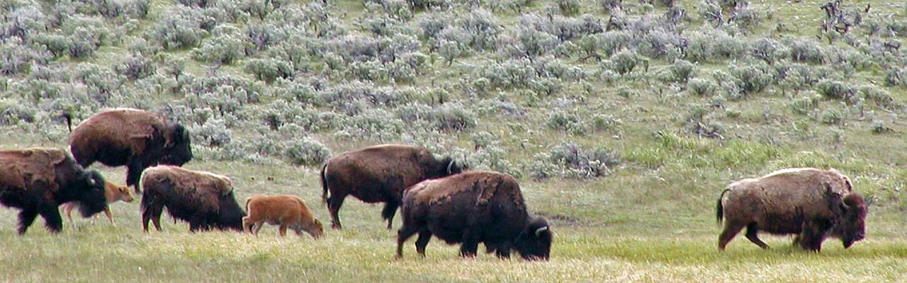 Bison, Yellowstone, Yellowstone National Park, Yellowstone Nature Tour, Yellowstone Birding Tour, Naturalist Journeys