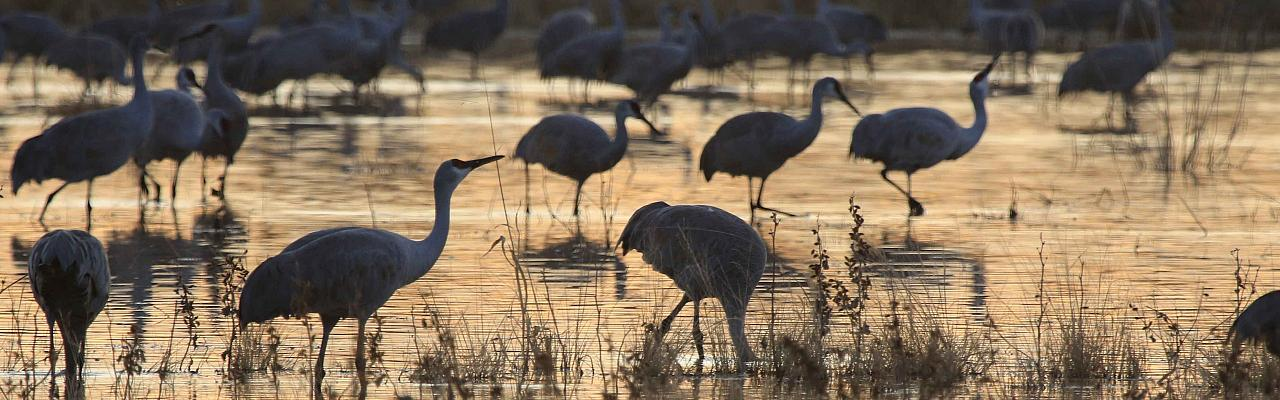 Sandhill Cranes, Arizona, Arizona Nature Tour, Arizona Birding Tour, Naturalist Journeys