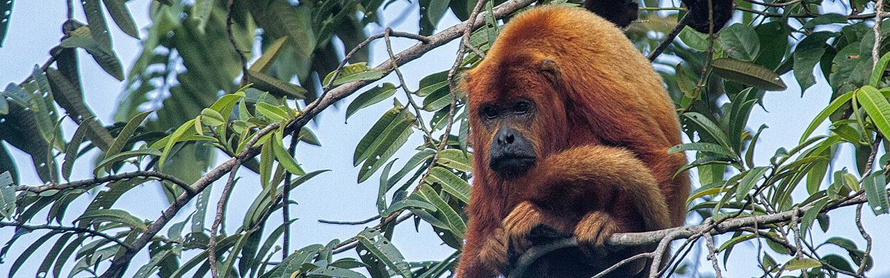 Red Howler Monkey, Guyana, Guyana Nature Tour, Guyana Birding Tour, Guyana Wildlife Tour; Naturalist Journeys