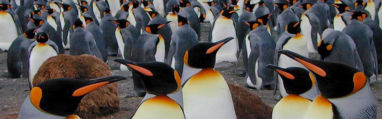 King Penguins, Antarctica, Antarctic Nature Cruise, Antarctic Birding Cruise, Antarctic Cruise, Naturalist Journeys