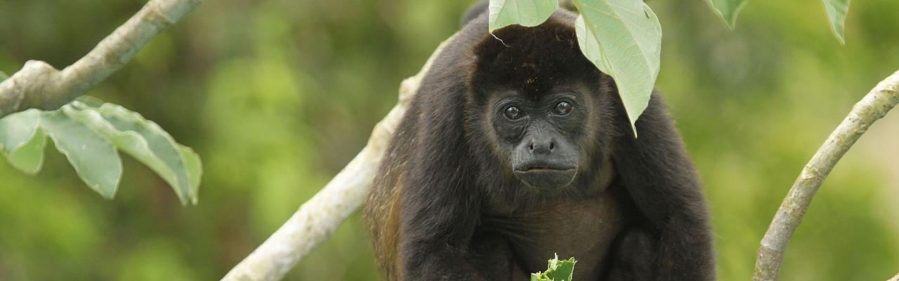 Black Howler Monkey, Belize, Belize Nature Tour, Belize Birding Tour, Winter Belize Tour, Naturalist Journeys