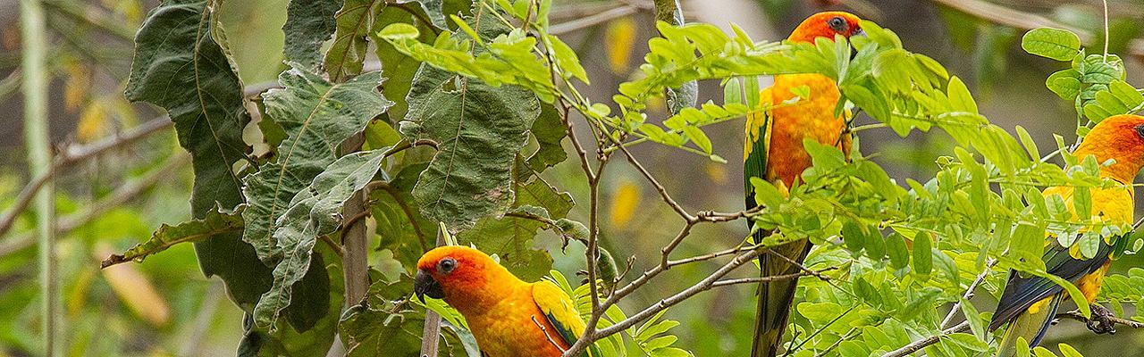 Sun Parakeet, Guyana, Guyana Nature Tour, Guyana Birding Tour, Guyana Wildlife Tour; Naturalist Journeys