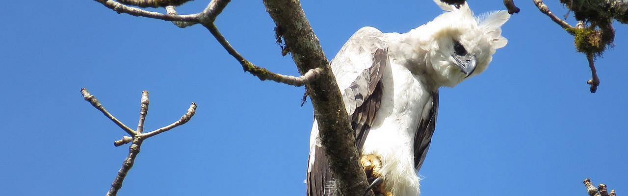 Juvenile Harpy Eagle, Panama, Panama Birding Tour, Panama Nature Tour, Panama Wildlife Tour, Naturalist Journeys