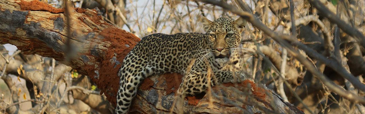Leopard, Uganda, Uganda Safari, Uganda Wildlife Tour, Uganda Nature Tour, Naturalist Journeys