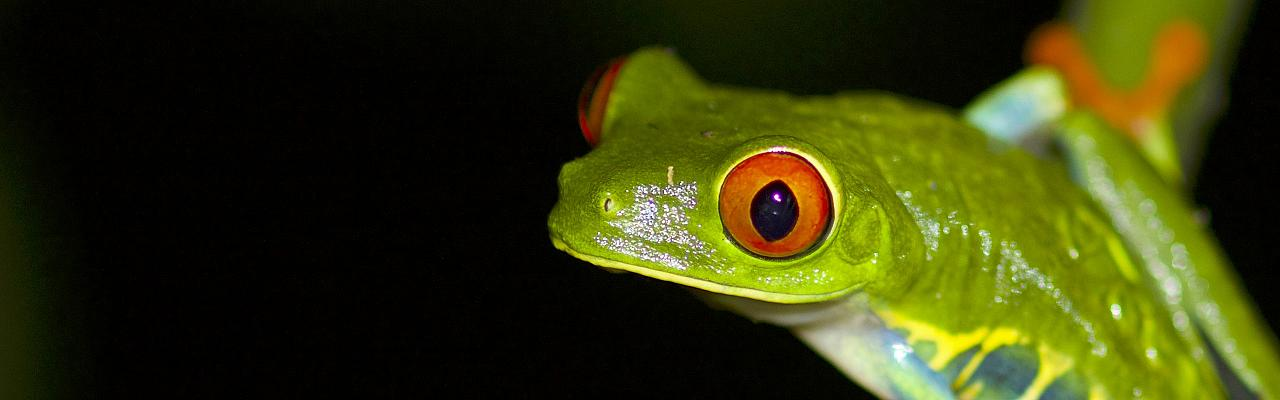 Red-eyed Tree Frog, Las Guacamayas Biological Station, Guatemala, Guatemala Birding Tour, Guatemala Nature Tour, Naturalist Journeys