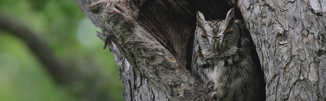 Eastern Screech-Owl, Ohio, Spring Migration, Maumee Bay, Oak Openings, Spring Migration Tour, Migration Tour, Naturalist Journeys