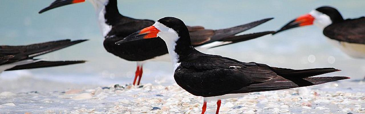 Black Skimmers, Cape May, Naturalist Journeys